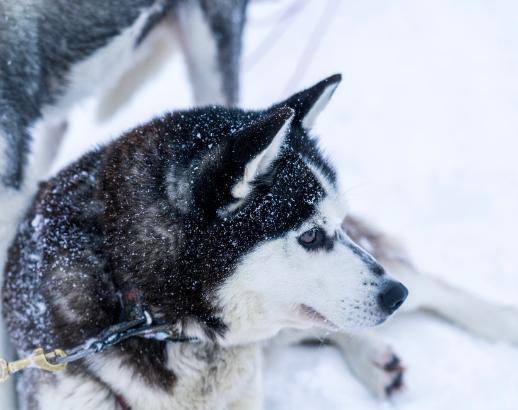 Husky sous la neige du Canada Noce de rêve by Flovinno