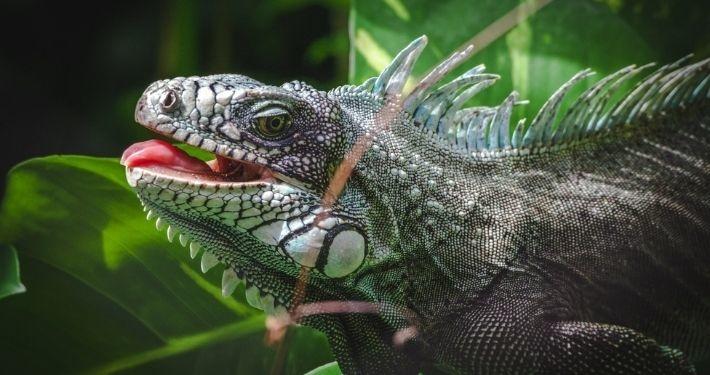 Iguane en Guadeloupe Noce de rêve by Flovinno