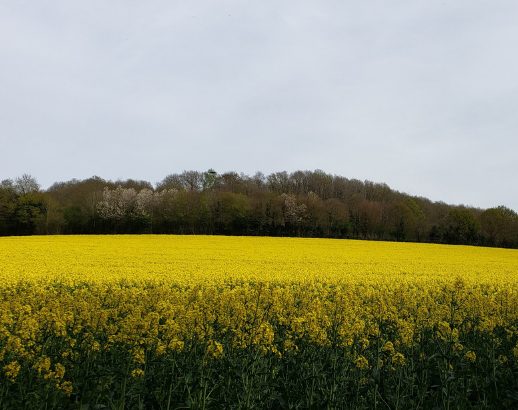 Normandie champs de mimosa Noce de Rêve by FLOVINNO
